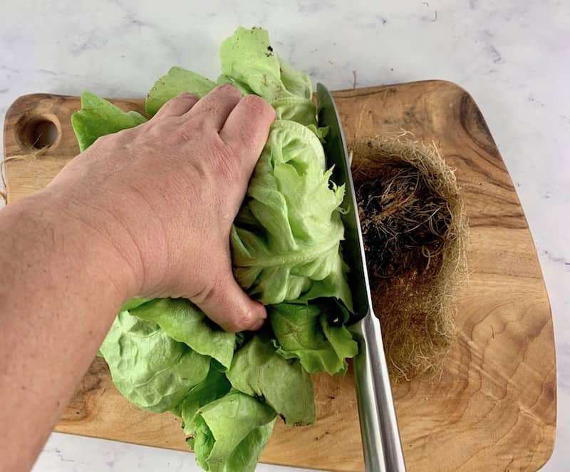CHOPPING ROOT ENDS FROM BUTTER LETTUCE WITH A KNIFE ON WOODEN BOARD