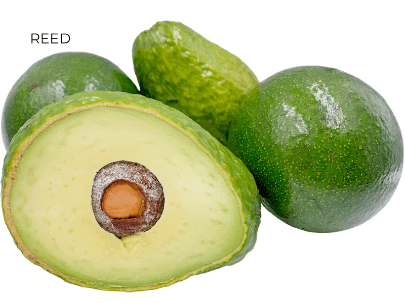 REED AVOCADOS