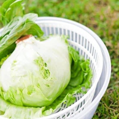 Lettuce in white salad spinner