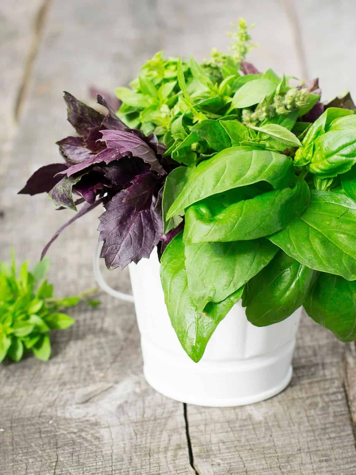 BASIL VARIETIES IN A WHITE POT