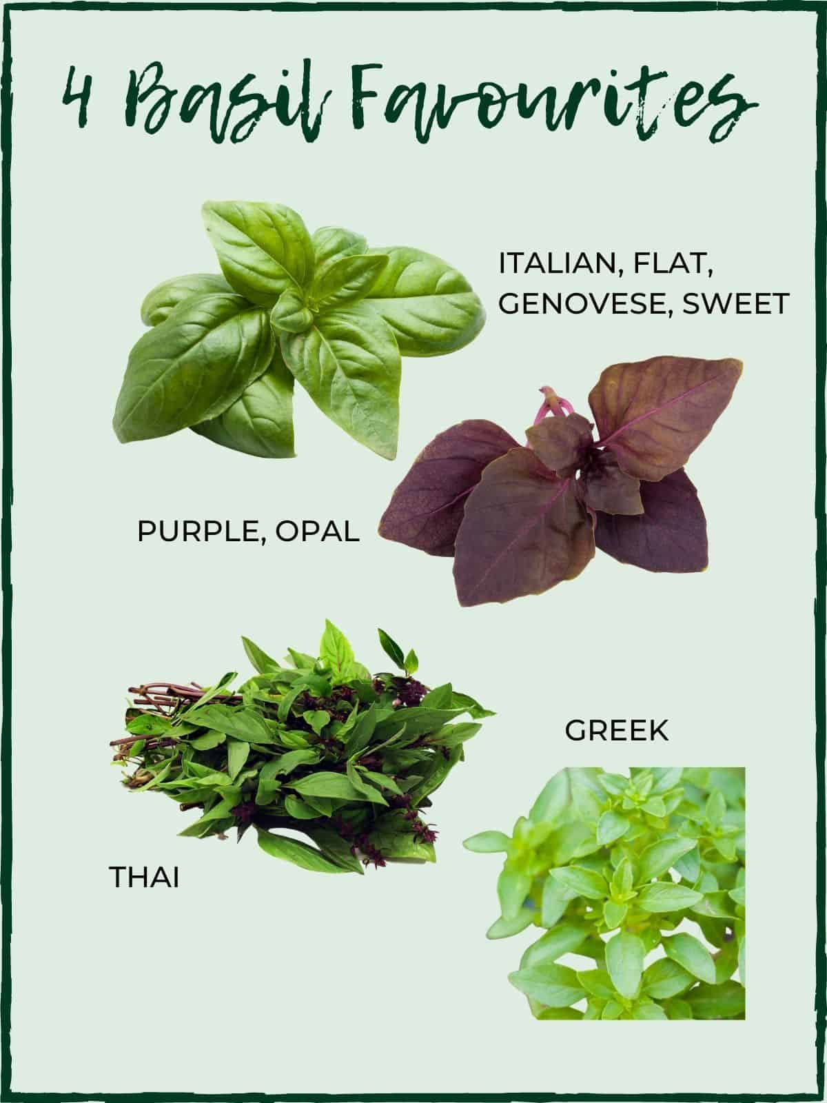 4 COMMON BASIL VARIETIES WITH TEXT OVERLAY