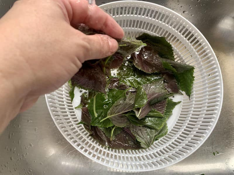 HANDS WASHING SHISO LEAVES IN COLANDER IN SINK